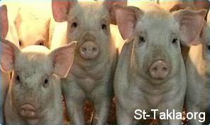 St-Takla.org Image: Pigs ���� �� ���� ������ ����: ������