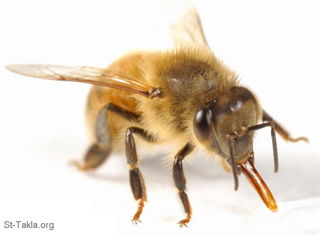 St-Takla.org Image: Honey Bee with long proboscis (tongue) ���� �� ���� ������ ����: ���� ��� ����� ������ �����ɡ �������