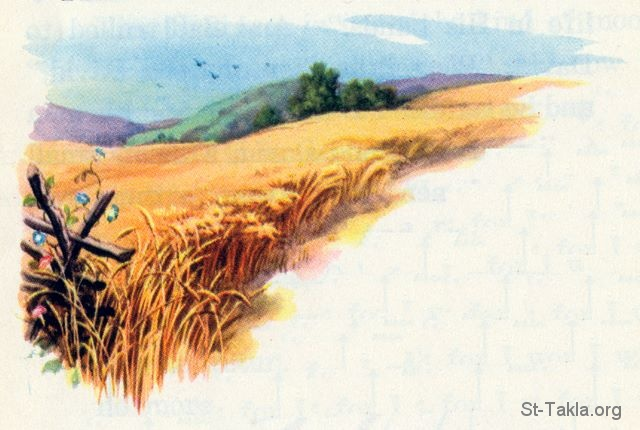 Image: 25 Field of wheat