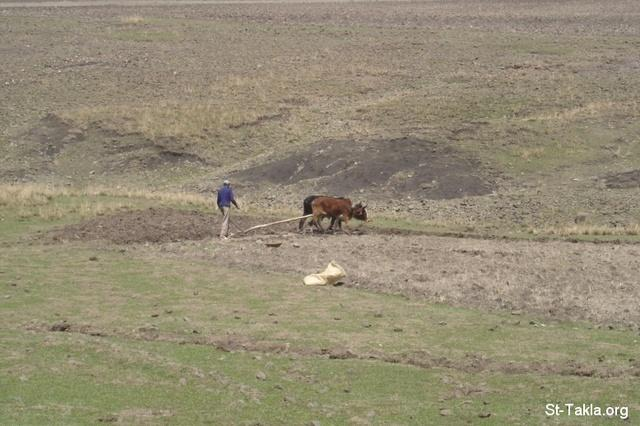 St-Takla.org Image: An Ethiopian man plowing the land with two OX, from Saint Takla's site Ethiopia journey photos, 2008 ���� �� ���� ������ ����: ��� ����� ���� ���� �� ���� ���� ����֡ �� ��� ���� ���� ������ ���� ������ 2008
