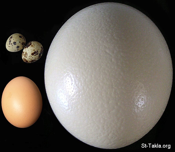 St-Takla.org Image: Eggs: Ostrich egg (right), compared to chicken egg (lower left) and quail eggs (upper left) ���� �� ���� ������ ����: ���: ���� ���� ��� ������ ��������� �� ���� ����� �� ���� ����� ��� �� ��� ���� ������