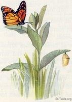 Image: 14 Monarch butterfly, chrystalyst, milkweed plant