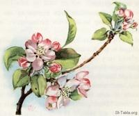 Image: 19 Apple blossoms
