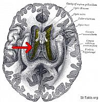 Image: Gray748 emphasizing corpus callosum