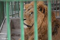 Image: alex zoo 2014 lion 0398