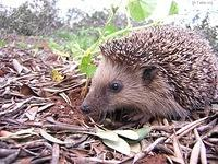 Image: Hedgehog 001