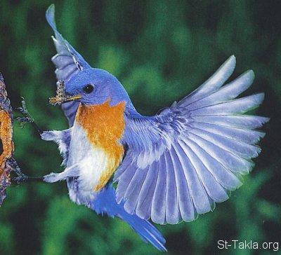 St-Takla-org___BlueBird.jpg