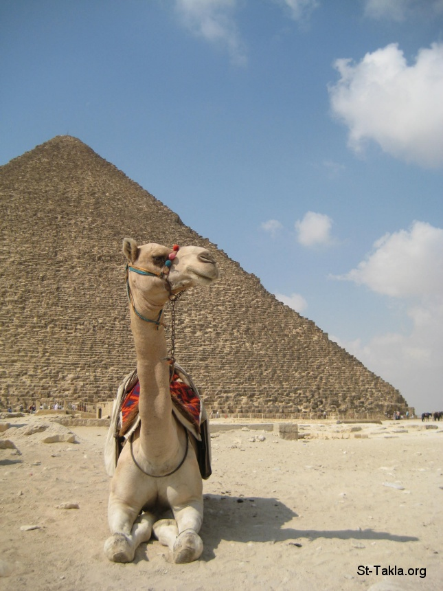 St-Takla.org         Image: A Camel in front of the Great Pyramid of Giza, Egypt ����: ��� ���� ����� ������ �� �����ɡ ���