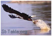St-Takla.org Image: An eagle catching fish ���� �� ���� ������ ����: ��� ����� ����