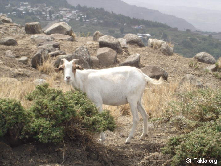 St-Takla.org Image: A goat, from St-Takla.org's Ethiopia photo visit collection, 2008 ���� �� ���� ������ ����: ���� (����) �� ��� ������ ������ 2008