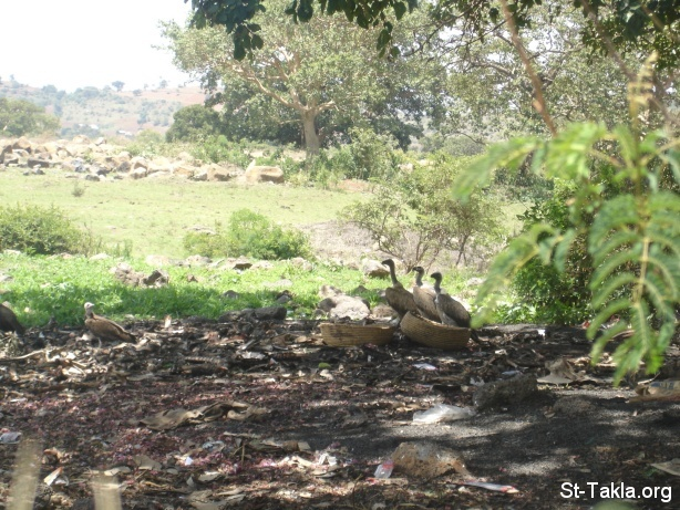 St-Takla.org Image: Vultures in Bahir Dar, from Saint Takla's website journey to Ethiopia, 2008 ���� �� ���� ������ ����: ���� �� ��� ��ѡ �� ���� ���� ������ ����������� ������ ��� 2008