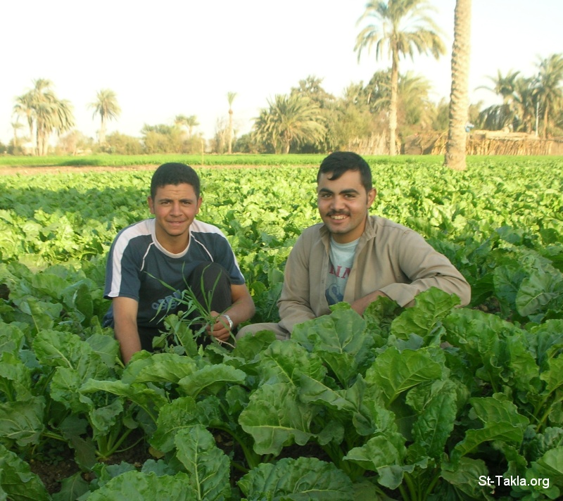St-Takla.org         Image: People working in a field, cheerful ����: ����� ���� ������ �� ����� ����ء ������ �����