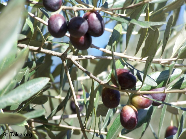 St-takla.org image: olives on an olive tree صورة في موقع