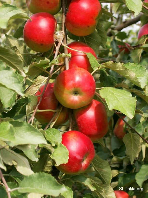 Www St Takla Org   Tree Apple 01